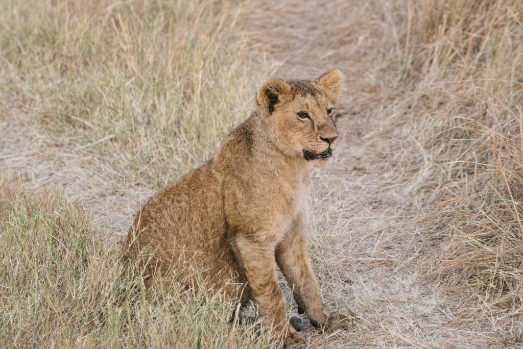 周りをみるライオン